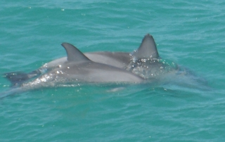 dolphins, dolphin, Monkey Mia, Shark Bay, Western Australia, Aussie Redback Tours, Dolphins at Monkey Mia, Dolphins at Shark Bay, Monkey Mia tour, tours to Monkey Mia, Seniors tours, Seniors tours of WA, Monkey Mia tours