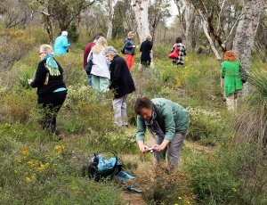 everlastings, tours to wildflowers, wildflowers wa, wildflower tours wa, seniors tours wa, tours of wa for seniors, blue leschenaultia, wreath flower, coalseam conservation park