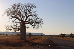 boab, kimberley, kimberley art tours, art tours of the kimberley, art tours australia, australian art tours, kimberley boab, kununurra. art tour kimberley, greg allen